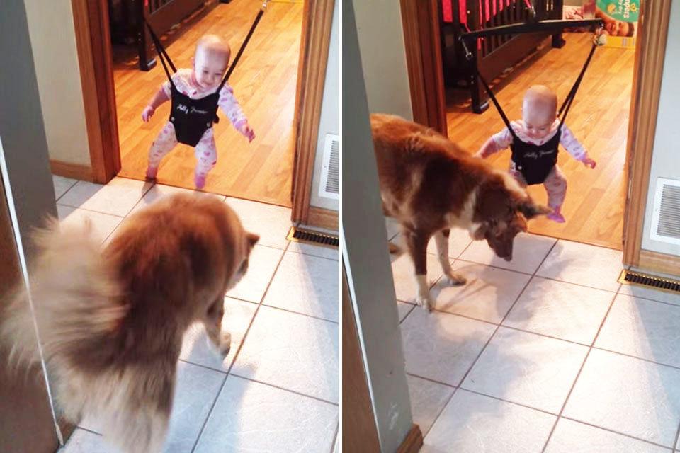 Hond leert baby springen in bouncer